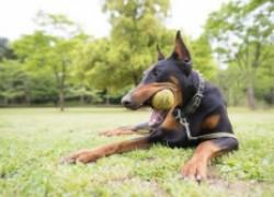 Британский ветеринар достал из желудка добермана 25 теннисных мячей