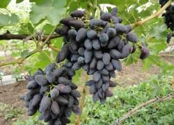 Викинг на винограднике