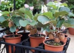 Выращиваем киви в домашних условиях