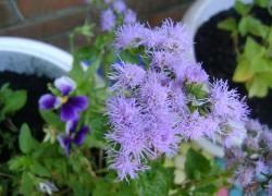 Пушистые цветы Агератума