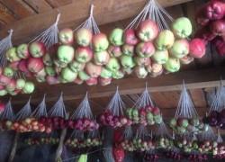 Яблоки на веревочках: как хранить и немного про сорта