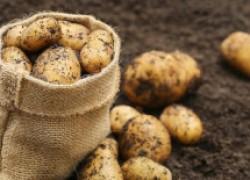 Можно ли сажать картофель под зиму