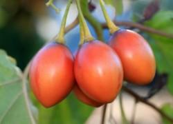 Необычные томаты