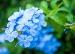 Свинчатка – небесно-голубой цветок со смешным названием
