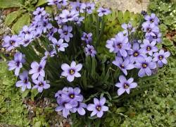 Сисюринхий − идеальный цветок для каменистых горок
