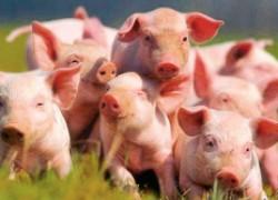 План-схема ветеринарных мероприятий для поросят