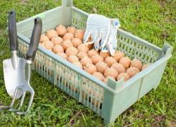 Что внести в лунку при посадке картофеля
