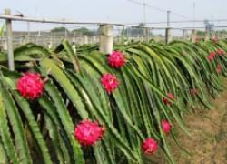 Как из драконова фрукта я вырастила драконовый кактус