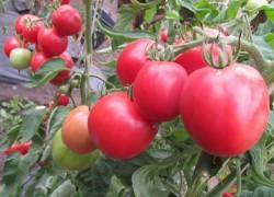 Ультраскороспелые сорта помидоров