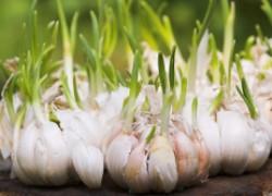 Как повысить урожай чеснока в 20 раз