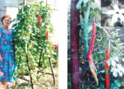 Лианы в вашем саду