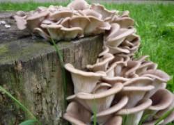 Домашние опята: создаем грибницу
