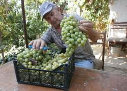 Как получить новый сорт винограда