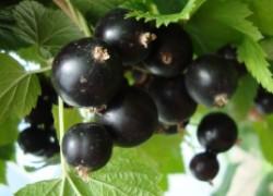 Смородина чёрная – здоровье богатырское