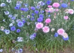 Васильки - родные с детства цветы
