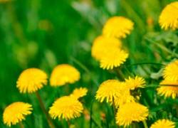 Не спешите расставаться с сорняками в огороде