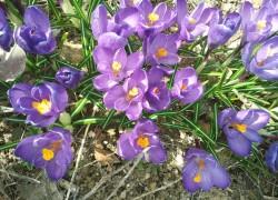 Крокус-цветок богини утренней зари