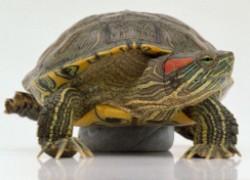 Мягкий панцирь красноухой черепахи