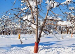 Срочные меры по спасению сада от перепадов температур
