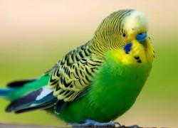 Травма у попугайчика
