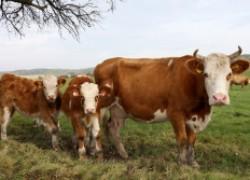 Послеродовой парез у коров, его лечение и профилактика
