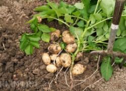 Пять тонкостей выращивания раннего картофеля