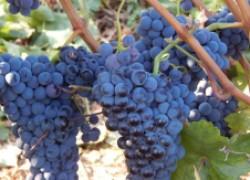 Аборигенные сорта винограда