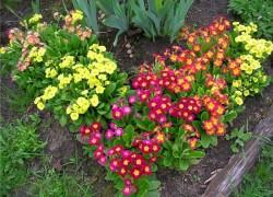 Сажайте примулы в саду