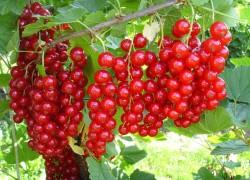 Выращиваю саженцы красной смородины без заморочек
