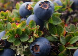 Голубику для здоровья посади-ка