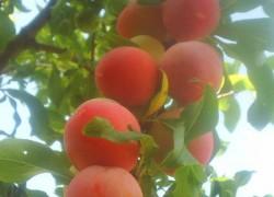 Сливы абрикосовая и персиковая