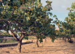Можно ли вырастить фисташковое дерево