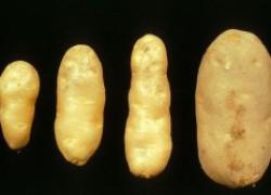Почему клубни картофеля стали веретеновидными