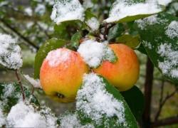 Колыбельная для яблони