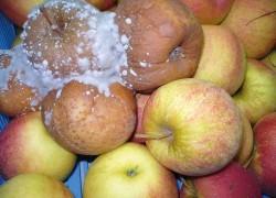 Зима: почему гниют яблоки
