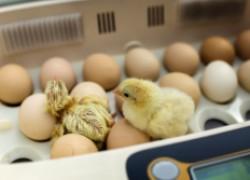 Некоторые вопросы об инкубации