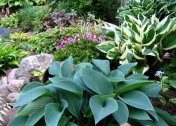 Невероятная история о том, как хоста появилась в наших садах