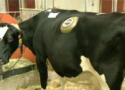 Зачем коровам делают дыры в боку