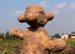 Почему картошка выросла уродиной?