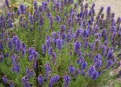 Иссоп – уникальное лечебное растение