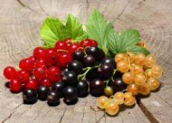 Советы по выращиванию смородины