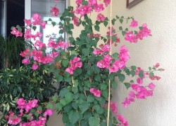 Советы по выращиванию  бугенвиллеи  от Елены Пчельниковой