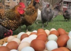 Сало стимулирует яйценоскость у кур