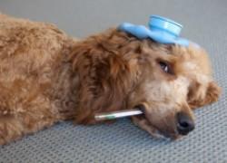 Защитите свою собаку от чумы!