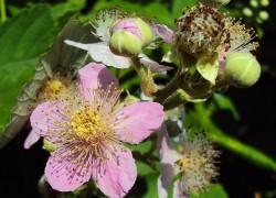 Ежевика цветет, а ягод не дает