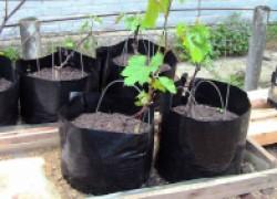 Как закалялся виноград