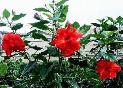 Китайская роза – цветок смерти?