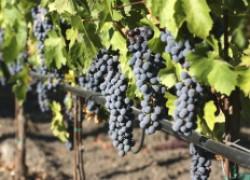 Сколько удобрений нужно винограду