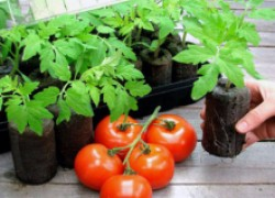 7 важных вопросов о помидорной рассаде