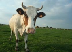 Как усмирить драчливую корову